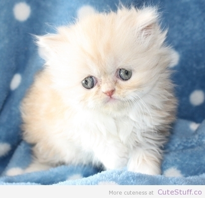 10 Cute Persian Kitten Photos - Cute Animals, Cute Pictures   Kittens and Cats   Scoop.it