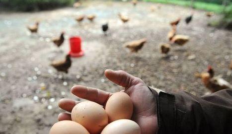 La poule bio et l'oeuf d'or, stars de nos supermarchés   Nature to Share   Scoop.it