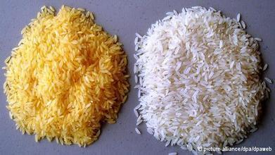 Genetically modified Golden Rice - DW (2014)   Ag Biotech News   Scoop.it