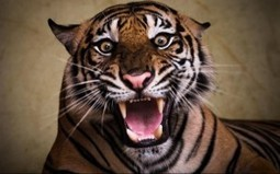 Angry Tiger Wallpaper Best Wallpaper Gallery