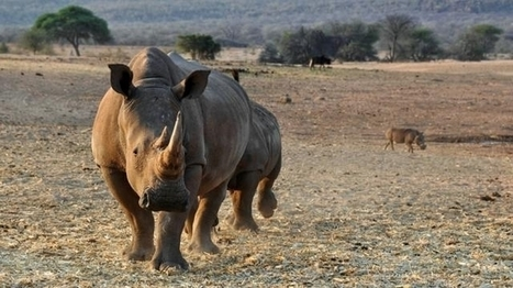 African rhino rescue drive: The great mission to move rhinos – a project of hope | What's Happening to Africa's Rhino? | Scoop.it