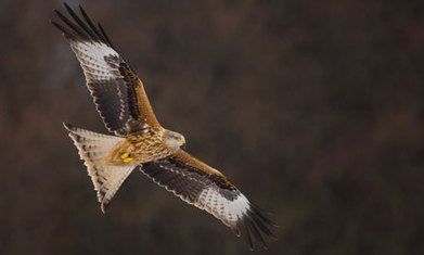 Scottish bird of prey colony hit by mass poisonings | My Scotland | Scoop.it