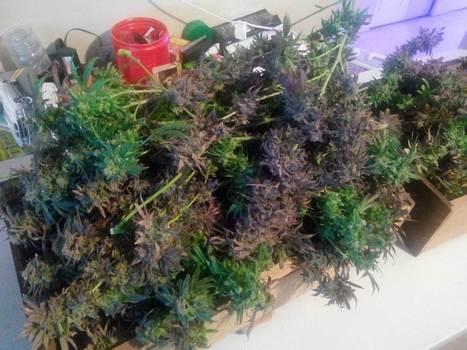 aerogarden weed harvest. \u0027how to grow cannabis\u0027 in weed easy, page 3 | scoop.it aerogarden harvest n
