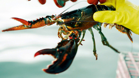 Canadian lobster industry faces tough US competition - CBC.ca | Nova Scotia Fishing | Scoop.it