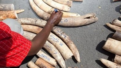 Uganda seizes massive ivory haul | Life on Earth | Scoop.it