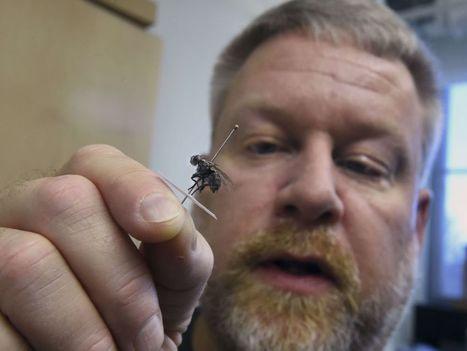 La police suit les mouches à la trace | EntomoNews | Scoop.it
