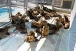 #Hunger May Be Driving Spike in #SeaLion #Strandings | Rescue our Ocean's & it's species from Man's Pollution! | Scoop.it