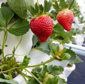 hidroponia y cultivos hidropnicos fresa hidropnica