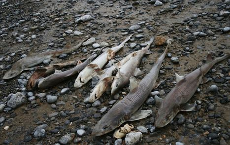 Horrific scenes on Gower beach as 70 dead sharks washed up on shoreline | Blue Planet | Scoop.it