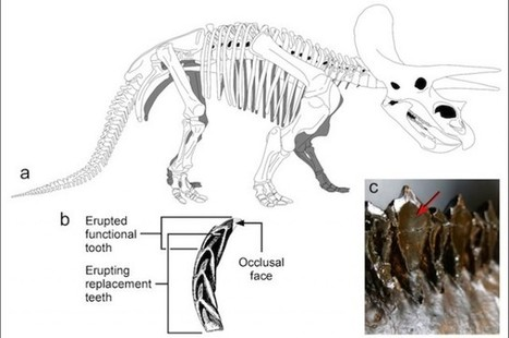 Los triceratops tenían unos de los dient...