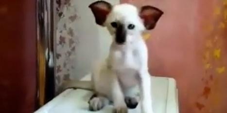 Un chat aux allures de koala | CaniCatNews-actualité | Scoop.it