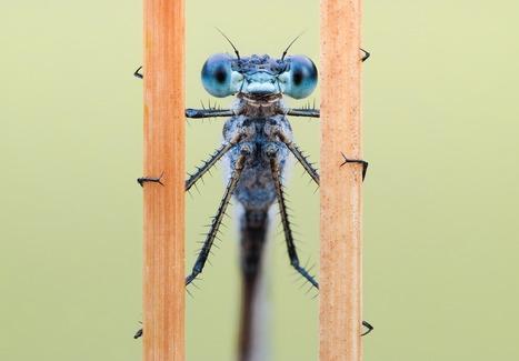 Les libellules sont capables, comme les humains, de concentrer leur attention sur une cible | EntomoNews | Scoop.it