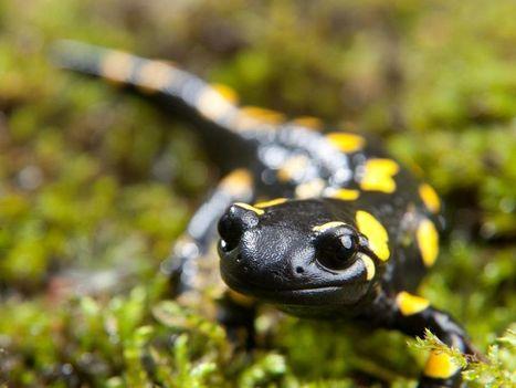 Les amphibiens ne perdent pas la mémoire quand ils hibernent | Biodiversité | Scoop.it