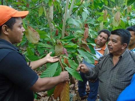 Aumenta el cultivo de cacao en El Merendón | cacao | Scoop.it