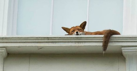 Super chilled London fox naps on second-floor window ledge | Prozac Moments | Scoop.it