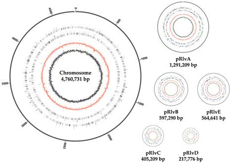 Genomic diversity in the endosymbiotic bacteriu genomic diversity in the endosymbiotic bacterium rhizobium leguminosarum ccuart Choice Image