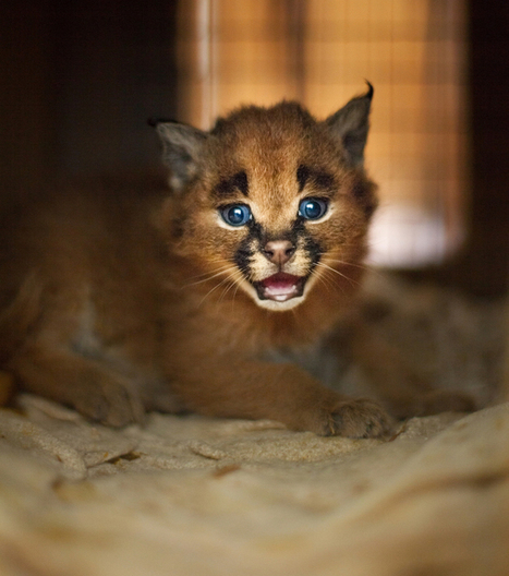 Adorable Caracal Kittens Grow Into Elegant Wild Cats That Roam the African Savanna | Le It e Amo ✪ | Scoop.it