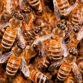 Bee swarms behave just like neurons in the human brain | Colony Collapse Disorder | Scoop.it