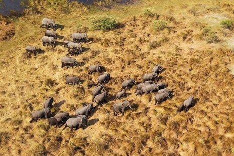 Four countries are acting as safe havens for African elephants | Wildlife Trafficking: Who Does it? Allows it? | Scoop.it