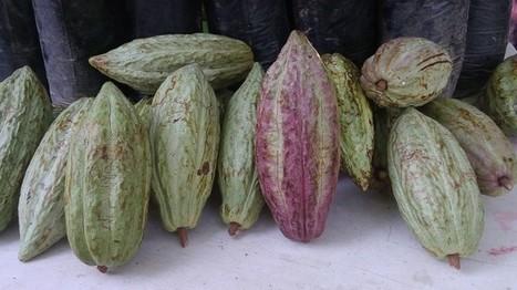 Se desploman precios del cacao en los mercados | cacao | Scoop.it