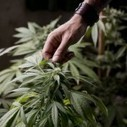 Senadora presenta proyecto de ley para legalizar la Marihuana en NY | thc barcelona | Scoop.it