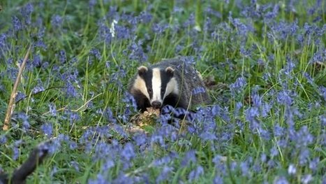Badger cull licence revoke 'threat' | Bovine TB, badgers and cattle | Scoop.it