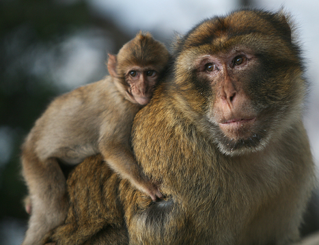 Barbary Macaques Could Gain Protection from Pet Trade | Animals R Us | Scoop.it