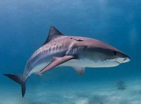 GPS-Tagged Sharks Post Location to Twitter, Alerting Beachgoers | PlanetNews | Scoop.it