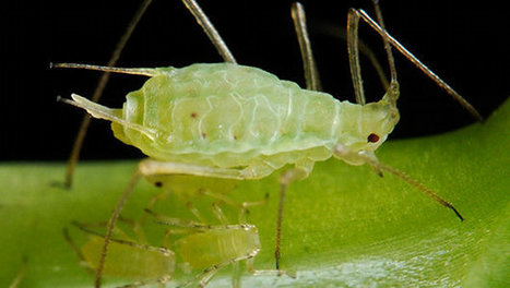 Insect discovered that may harvest energy from the sun like a plant | No Such Thing As The News | Scoop.it