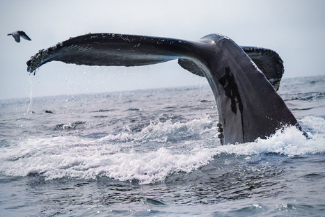 The deep, beautiful, tragic shared #history of #Whales & #humans #Risso's ... | Rescue our Ocean's & it's species from Man's Pollution! | Scoop.it
