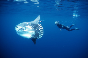 20 Things About Sunfish You Might Not Have Known | Indigo Scuba | Indigo Scuba | Scoop.it