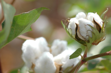 Movement Toward Sustainable Cotton Spearheaded by Global Brands and NGOs | Sustainable Procurement News | Scoop.it