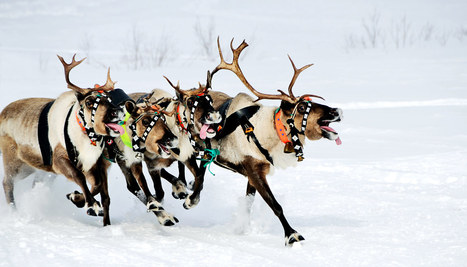 How to tell if Santa's reindeer are female - Futurity | CALS in the News | Scoop.it