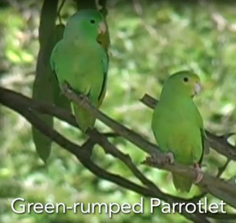Wild parrots name their babies | video | | curating your interests | Scoop.it