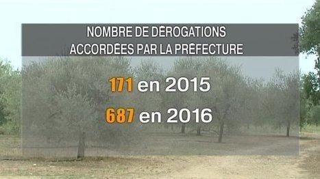 Comment combattre légalement la Xyllela Fastidiosa ? - France 3 Corse | Arboriculture: quoi de neuf? | Scoop.it