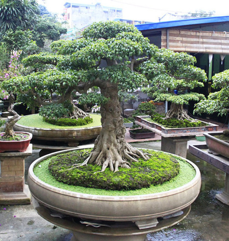 A Magical Land Where Almost Every House Has a Bonsai | Gardening Inspiration and Information | Scoop.it