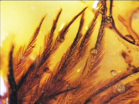 Dinosaurs = Birds: First Dinosaur Feathers Found in Ancient Amber | Amazing Science | Scoop.it