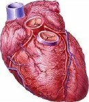 Maternal and Placental Size Linked to Men's Heart Disease --Doctors Lounge | Finland | Scoop.it