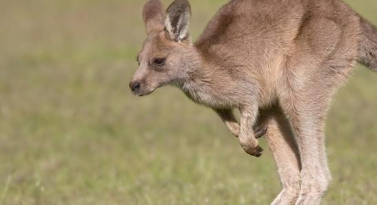 Los canguros emiten tanto metano como los cabal...