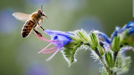 5 ways to help save the bees - CNN | Bees and Honey | Scoop.it