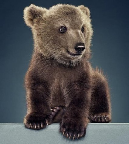 Bear Portraits by Jill Greenberg » Creative Photography Blog | The Blog's Revue by OlivierSC | Scoop.it
