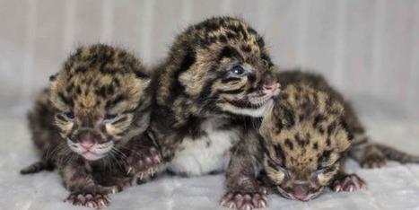 ALLPE  : Tres diminutas panteras nebulosas (es primavera) | BROTES DE NATURALEZA | Scoop.it
