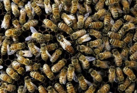 Feds: Many causes for dramatic bee disappearance | Annie Haven | Haven Brand | Scoop.it