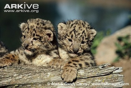 ARKive - Snow leopard photo - Panthera uncia - G1313 | HELPING ANIMALS IN DANGER by Oumnia | Scoop.it