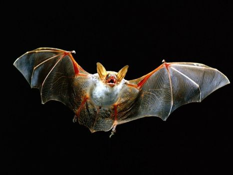 Urban Bat Ecology | animals and prosocial capacities | Scoop.it