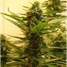 Highsupplies - An Online Cannabis Shop