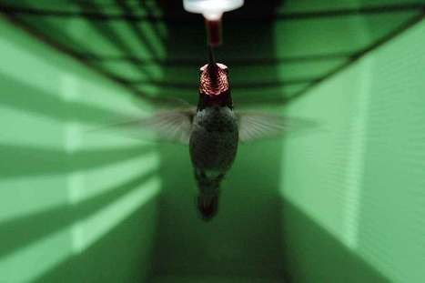 Hummingbirds' Unique Way of Seeing Prevents Them From Crashing | Biomimicry | Scoop.it