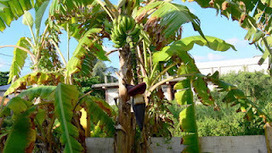 Taking Belize: Cooking Plantains | A Belize Real Estate Scoop | Scoop.it