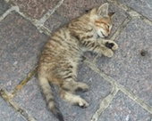$2,000 Reward Offered for Information Leading to Arrest and Conviction in Case of Kitten Thrown From Car - Animal Legal Defense Fund   Game Guides in Africa..   Scoop.it