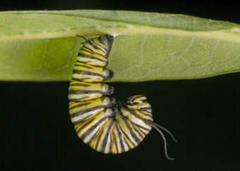 The Archaeology News Network: Evolution highly predictable for insects eating toxic plants | Africa and Beyond | Scoop.it